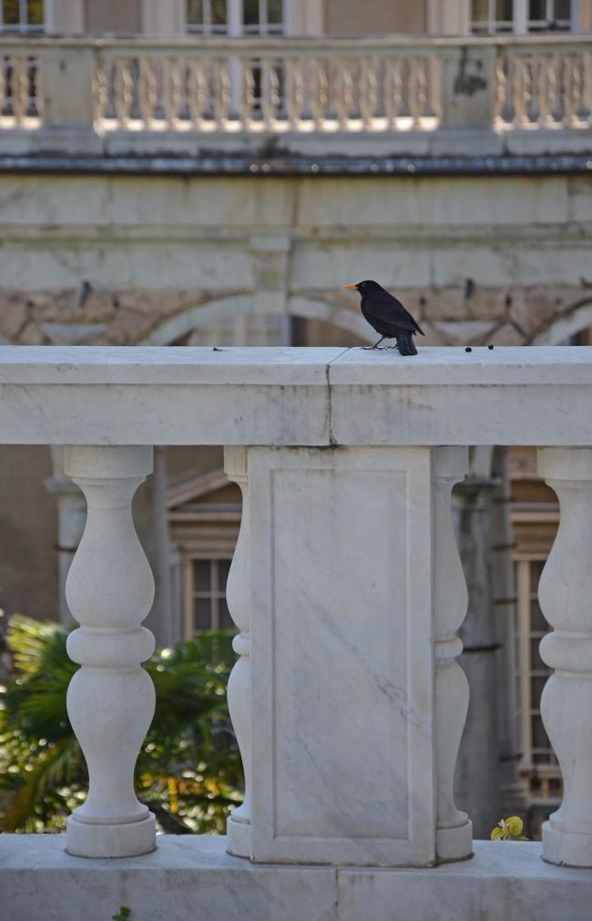 uccello nero su ringhiera di palazzo Tursi